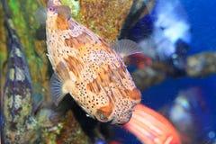 Porcupinefish Royalty Free Stock Photos