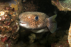 Porcupinefish (Diodon hystrix) Stock Photography