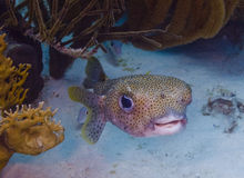 Porcupinefish (Diodon hystrix) royalty free stock photography
