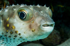 Porcupinefish (Diodon nicthemerus) Stock Photos