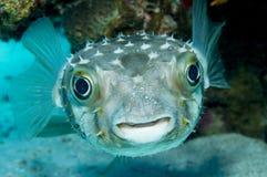 Porcupinefish (Diodon nicthemerus) Royalty Free Stock Photography