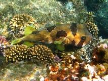 Porcupinefish e coral Pretos-blotched Foto de Stock Royalty Free