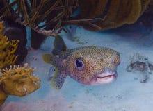 Porcupinefish (hystrix del Diodon) fotografía de archivo libre de regalías