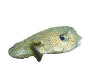 Porcupinefish Royalty Free Stock Image