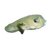 Porcupinefish Royalty Free Stock Image