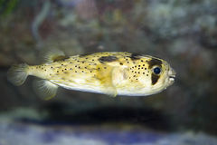 Porcupinefish Longo-spined imagens de stock royalty free