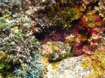 Porcupinefish manchado Pufferfish en Coral Reef, Belice imagenes de archivo