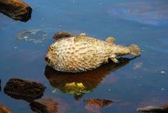 Porcupinefish muerto Diodontidae Fotos de archivo