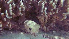 Porcupinefish noir de Blotched banque de vidéos