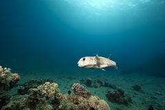 Porcupinefish and ocean Stock Photography