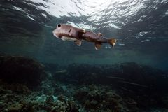 Porcupinefish and ocean Royalty Free Stock Image