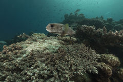 Porcupinefish (diodon hystrix) in the Red Sea. Royalty Free Stock Image