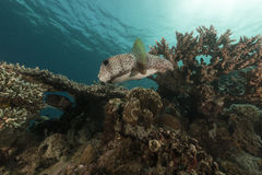 Porcupinefish (diodon hystrix) in the Red Sea. Royalty Free Stock Photo