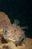 Porcupinefish sorridente Immagine Stock