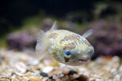A porcupinefish swimming in aquarium Royalty Free Stock Photos