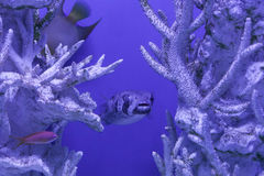 Porcupinefish undersea, Diodon liturosus Royalty Free Stock Image