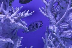 Porcupinefish undersea, Diodon liturosus Royalty Free Stock Photos