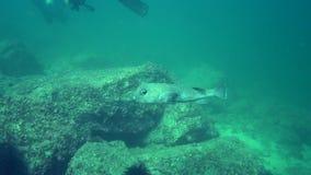 Porcupinefish vlek-Vin porcupinefish, stekelvarkenkogelvis Diodon hystrix in de golf van Fujairah de V.A.E Oman stock video