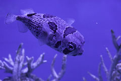 Porcupinefish in water Royalty Free Stock Image
