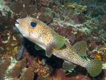 Porcupinefish Stock Images