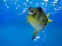 Porcupinefishes Balloonfishes, marin- fisk royaltyfria foton