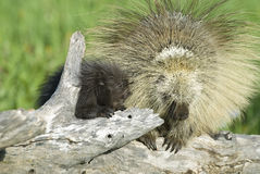 Porcupines. Baby porcupine with his mother Stock Photography
