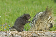 Porcupines. Porcupine with her baby. Montana wilderness Royalty Free Stock Photos