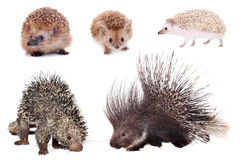 Porcupines and hedgehogs set on white Royalty Free Stock Photo