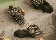 Porcupines Royalty Free Stock Photos