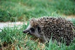 Porcupinos en la hierba Imagen de archivo