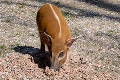 Porcus Potamochoerus борова Red River стоковая фотография