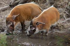 Porcus Potamochoerus борова Red River стоковое изображение