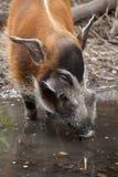 Porcus Potamochoerus борова Red River стоковое изображение rf