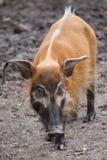 Porcus Potamochoerus борова Red River стоковые фото