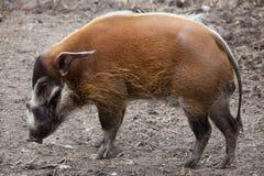Porcus Potamochoerus борова Red River стоковые фотографии rf
