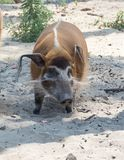 Porcus Potamochoerus боров Red River, также известный как свинья куста стоковые фото
