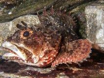 Porcus Scorpaena ruff или скорпион-рыб Чёрного моря морское Подводный взгляд конца-вверх Стоковая Фотография RF