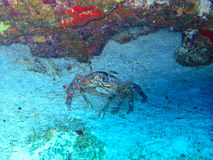 Porecelain Crab Royalty Free Stock Photography