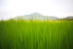 Pores do sol no campo de milho Fotografia de Stock