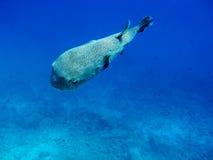 Poreupinefish comum imagens de stock