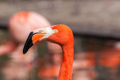 Porfile portrait of american flamingo Stock Photography