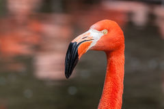 Porfile portrait of american flamingo Stock Photo