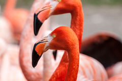 Porfile portrait of american flamingo Stock Image