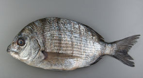Porgie Fish Stock Images