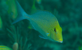 Porgy Stock Images