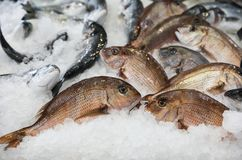 Porgy or Pagrus pagrus, seabream fishes on ice for sale in the greek fish shop. Porgy or Pagrus pagrus, seabream fishes on ice for sale. Horizontal. Close-up royalty free stock photography