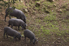 Pork. Posk ranching in Southern Spain royalty free stock images
