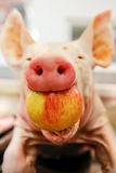 Pork with apple mouth Stock Image