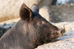 Pork of black hair Royalty Free Stock Photography