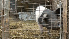 A Pork in A Cage stock video footage